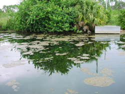 pond bioremediation algae