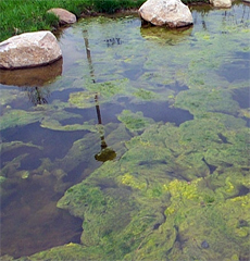 algae, ponds, water, bioremediation, cyanobacteria, nutrients, algal blooms